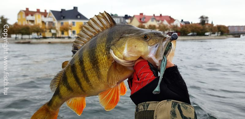 Sügér, csapó sügér horgászata pergető módszerrel. Ultra Light pergetéssel!