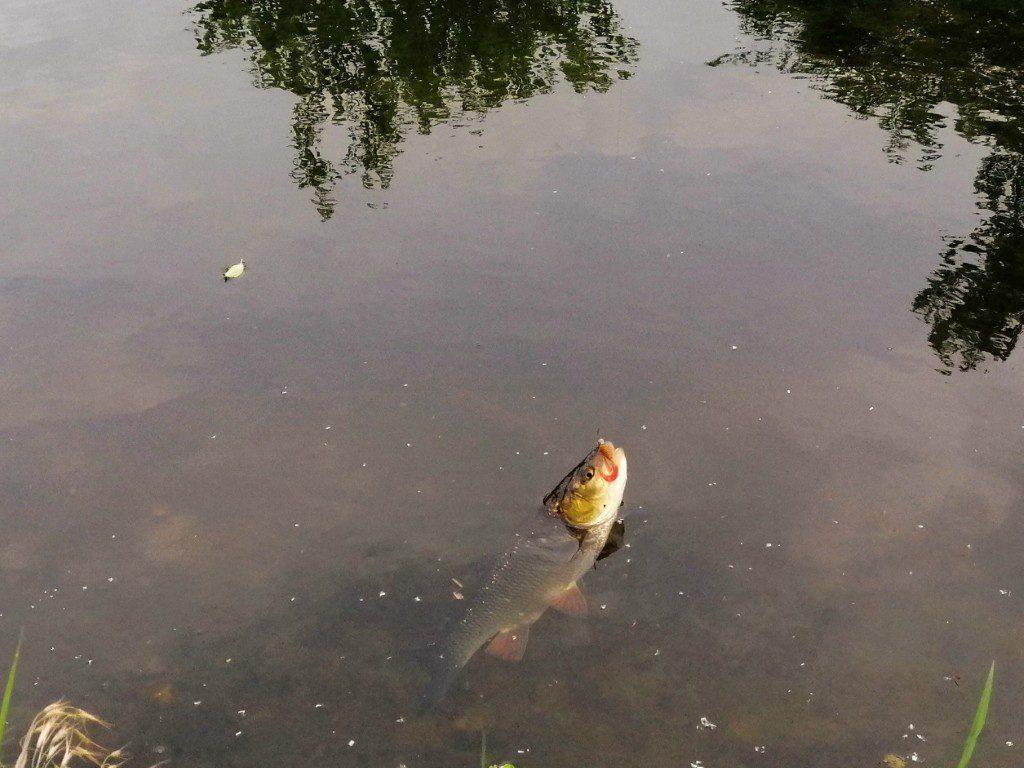 Pergetés Balinra. A képen egy balin melyet pergetve fogtak! A csalit a Horgászonline horgászboltban vásárolták Nagykanizsán!