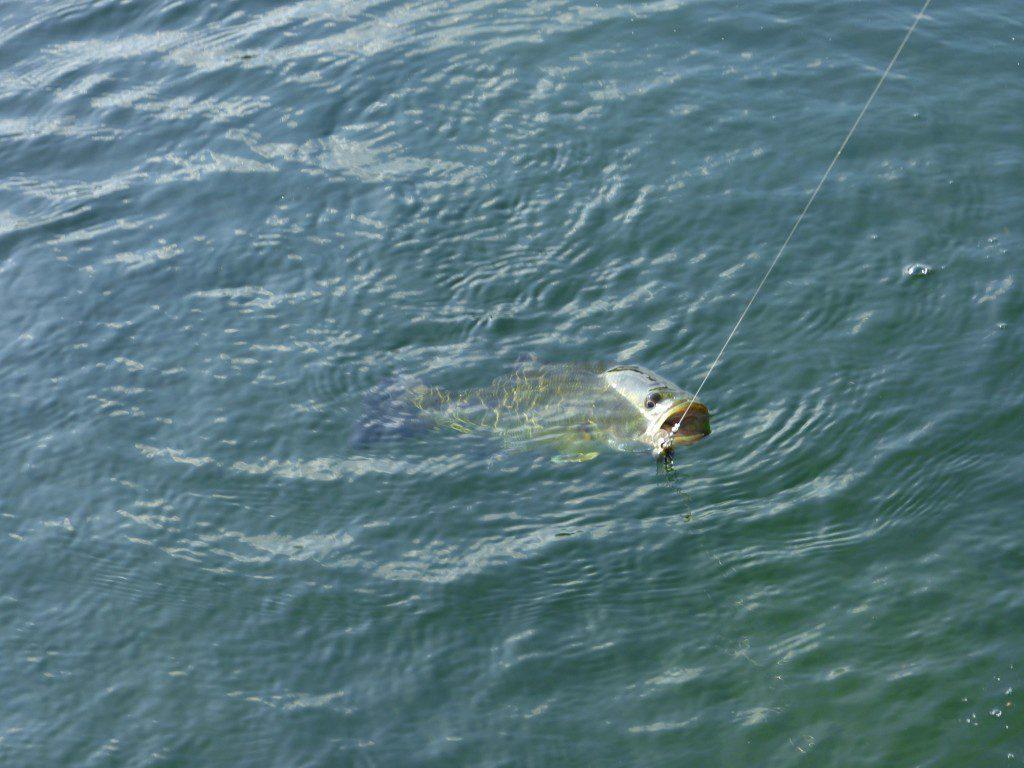 Sügér horgászat kánikulában!-Horgászonline webáruház-Horgász Magazin