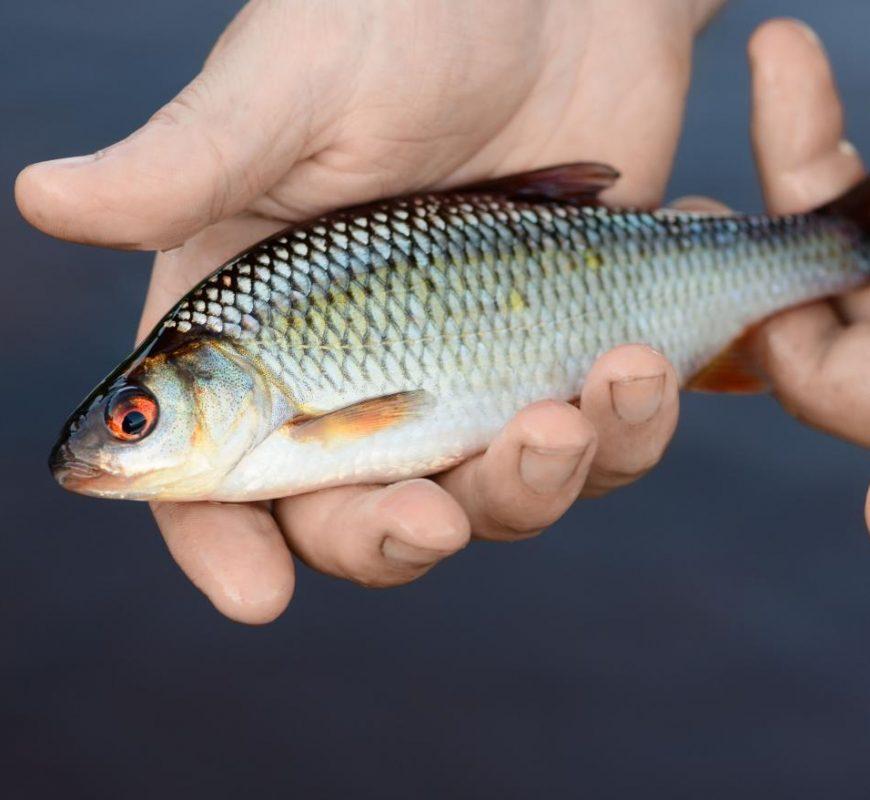 Csalihal forgalmazásának szabályai-Horgászboltoknak