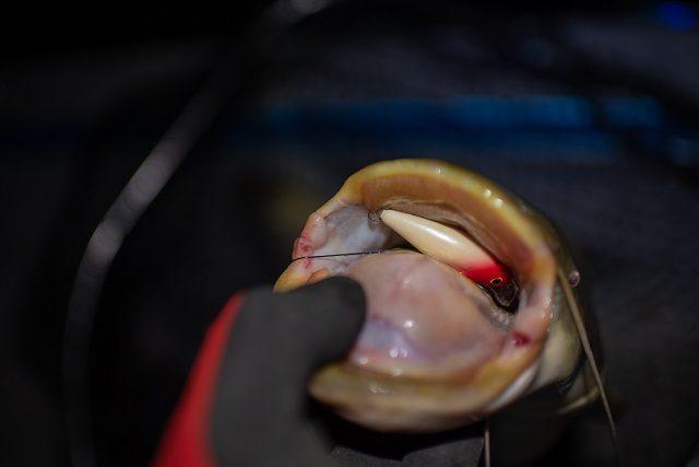 Harcsák a felszínen-Horgász Magazin | HorgászMánia friss horgász hírek